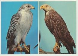 AK  Gerfalke Weißkopf Seeadler Im Museum Coburg - Vögel