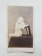 Ancienne Photo De Chien Fumant Une Pipe - J. Tourtin (Paris) - Vers 1860 - Photos