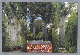 NZ.- KAURI TREES WAIPOUA FOREST NORTHLAND, N.Z.. TE MATUA NGAHERE FATHER OF THE FOREST. - New Zealand