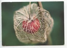 Coqueret Alkékenge, Amour En Cage, Palloncini, Physalis Alkekengi - Giftige Pflanzen