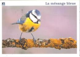 CPM OISEAUX LA MESANGE BLEUE - Birds