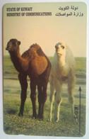 29KWTA 2 Camels - Kuwait
