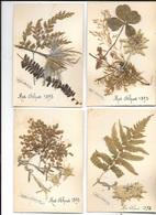 FLEURS SECHEES EDELWEIS TREFLE  ALPES 1893 - Blumen