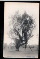 FORMOSA A Kind Of Oak- Tree At Formosa OLD POSTCARD 2 Scans - Formose