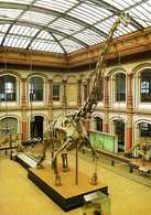 Dinosaure : Squelette De Brachiosaurus Au Museum Der Humboldt Universitat Zu Berlin - Animaux & Faune