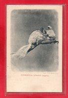 ANIMAUX-CPA CHINCHILLA ( CHINCHILLA LANIGERA) - Unclassified