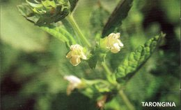 CP -Melisse (Melissa Officinalis L.) - Plantes Médicinales