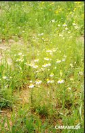 CP -Camomille  (Matricaria Recutita L.) - Plantes Médicinales