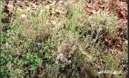 CP -Thym  (Thymus Vulgaris  L.) - Plantes Médicinales