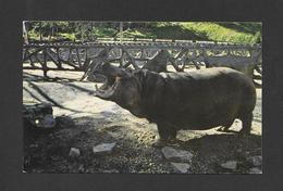 ANIMAUX - ANIMALS - HIPPOPOTAME AU ZOO DE ST FÉLICIEN - PAR LA SOCIÉTÉ ZOOLOGIQUE - Hippopotames