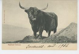ROYAUME UNI - SCOTLAND - ECOSSE - Highland Bullock - Inverness-shire
