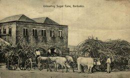 UNLOADING SUGAR CANE BARBADOS  BULLOCK CARTS  CARRI A BUOI    OX CART  BULLOCK TEAM - Barbados