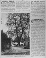 """LE PLATANE CLASSé  DE """" SAINT-ANDRE-DE-CUBZAC  """"  ( GIRONDE )  1935 - Aquitaine"""