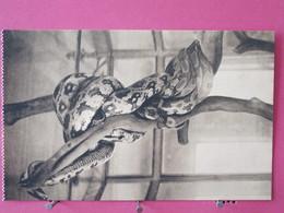 Belgique - Anvers - Jardin Zoologique - Galerie Des Reptiles - Serpents Pythons Indiens - Excellent état - Recto-verso - Antwerpen