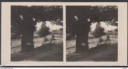 LITHUANIA LITUANIE LITAUEN Old Stereo Photo Card Old Oak (Dubysa River Valley)  #12447 - Lithuania