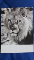 CPSM LION ED PONSCART 1960 - Lions