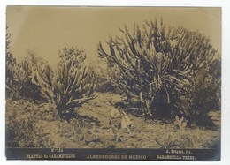 Photo Originale  Abel Briquet . Alrededores De MEXICO - Plantas De Garambullos - Fotos
