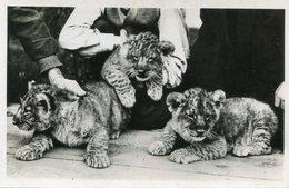 LION(ZOO DE VINCENNES) - Lions