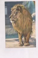 CPA LION - Lions