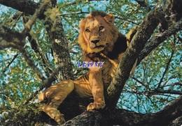 CPSM 10X15  Du KENYA - LION CLIMBING TREE - 1973 - Kenya