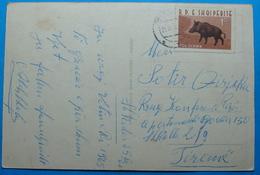 1965 Albania Happy New Year Postcard Sent From SHKODRA To TIRANA, Stamp: 1.5 Leke WILD BOAR - Albania