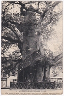 ALLOUVILLE-BELLEFOSSE - Le Gros Chêne, Le Plus Vieux D'Europe, âgé D'environ 1000 Ans, 15 M De Circonférence, ... - Allouville-Bellefosse