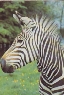 Postcard - London Zoo - Zebras All Have Differant Stripes - Photo By M Lyster - Card No. LZ 16 - VG - Cartes Postales