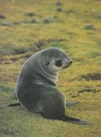 JEUNE OTARIE De KERGUELEN - TAAF : Terres Australes Antarctiques Françaises