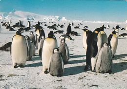 ROOKERIE DE MANCHOTS EMPEREURS  Dans L'Archipel De Pointe Géologie - Voir Les 2 Scans - TAAF : Terres Australes Antarctiques Françaises