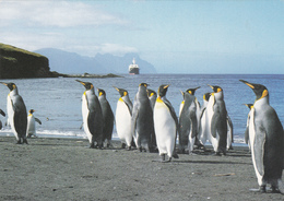"""MANCHOTS ROYAUX à Ile De La Possession CROZET à L'horizon """" MARION DUFRESNE """"  - Voir Le Scan - TAAF : Terres Australes Antarctiques Françaises"""