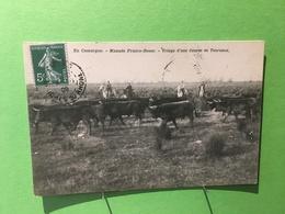30 - EN CAMARGUE - Manade Franco-Russe - Triage D'une Course De Taureaux - Non Classés