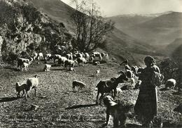 Bardonecchia (Torino) Pecore E Capre Al Pascolo Sul Colomion, Moutons Et Chèvres Au Paturage, Grazing Sheep And Goats - Altre Città