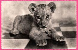 Cp Dentelée - Le Petit Lion D'Afrique - Cliché CAUCHETIER - Edit. HOA QUI - Lions