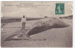 Charente-Maritime - Ile-d'Oléron - Domino - Baleine-balaenoptera Sibaldi), Taille 15 Mètres échouée Sur La Côte Le 25 Ma - Ile D'Oléron