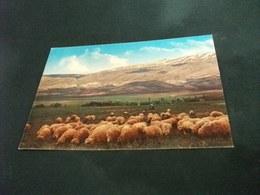 LIBANO LIBAN LEBANON A SHEPHERD AT BEKAA GREGGE PECORE - Libano