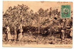 E11 - Lebanon 1909 Beutiful Ottoman Postcard, Fig Gathering, By Sarrafian Bros, Sent From Beirut, To Houston, Texas - Lebanon