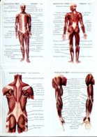 Images Bon Point : Corps Humain - Les Muscles - Old Paper