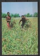 BANGLADESH  POSTCARD HARVESTING - Bangladesh