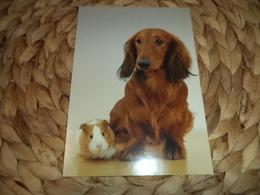 Seltene Hund Dog Alte Postkarte Old Postcard Dackel Teckel Dachshund,  Meerschweinchen,  Guinea Pigs - Hunde