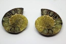 Fossile Di Ammonite - Provenienza Madagascar - Fossili