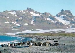 1 AK South Georgia Island - Pinguinkolonie - Bay Of Isles - South Atlantic * Britisches Überseegebiet Südgeorgien - Sonstige