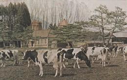Rare Cpa Japon Années 50 Vaches Et Ferme Japonaise - Nagoya