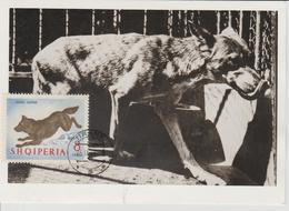 Albanie Carte Maximum Animaux 1964 Loup 684 - Albanie