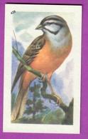 """Image Histoire Naturelle """" ENTREMETS FRANCORUSSE """" N° 428 Oiseau Passerau LE BRUANT FOU  Pour L'Album N° 4 - Alte Papiere"""