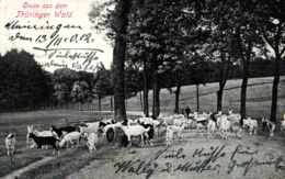 Thüringen, Thüringer Wald, Ziegenherde, 1912 - Sonstige