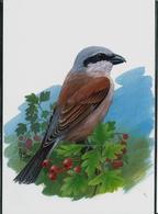 Carte Blanco: Pie - Grieche écorcheur  -  Grauwe Klauvier - 1985-.. Pájaros (Buzin)