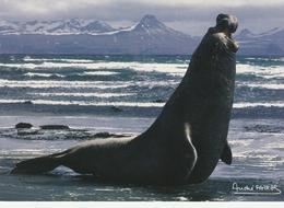 CPM - KERGUELEN - Eléphant De Mer Mâle - TAAF : French Southern And Antarctic Lands