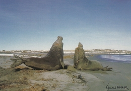 CPM - KERGUELEN - Combat - Eléphant De Mer - TAAF : Terres Australes Antarctiques Françaises
