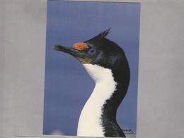 CPM - TAAF - Cormoran De KERGUELEN - TAAF : French Southern And Antarctic Lands