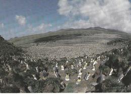 CPM - TAAF - Un Million De  Manchots Royaux  La Plus Grande Colonie Au Monde - Ile Aux Cochons - CROZET - TAAF : Terres Australes Antarctiques Françaises